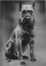Giant Schnauzer Club Of America The American Kennel Club
